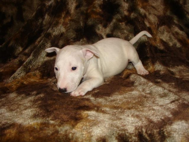 SAMMY (Mini Bitch) Puppy
